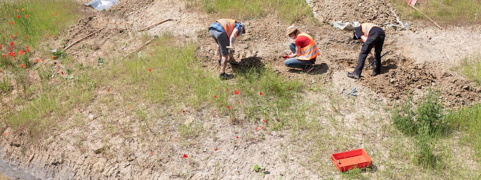 50 bis 60 Knochenteile haben die Mitarbeiter des Naturmusée am neu angelegten Bachlauf ausgegraben.