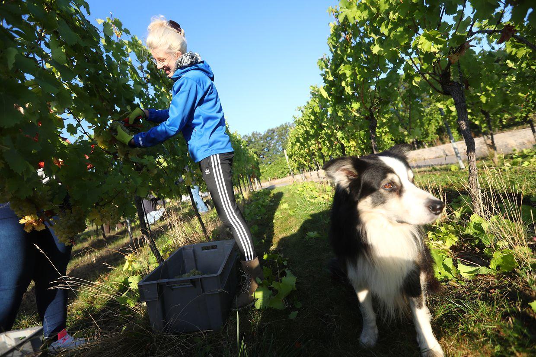 Die Studentin Michelle aus Schwebsingen wird auf Schritt und Tritt von Winzerhund Pinot begleitet.