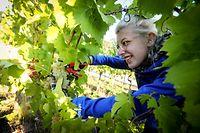 Les récoltes sont estimées cette année de 50.000 à 60.000 hectolitres sur les coteaux de la Moselle luxembourgeoise