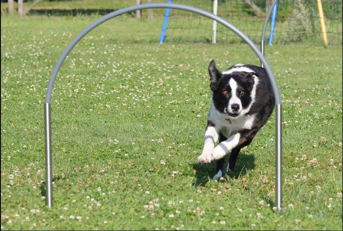 Beim Agility kann keine andere Hunderasse den Bordercollies das Wasser reichen.