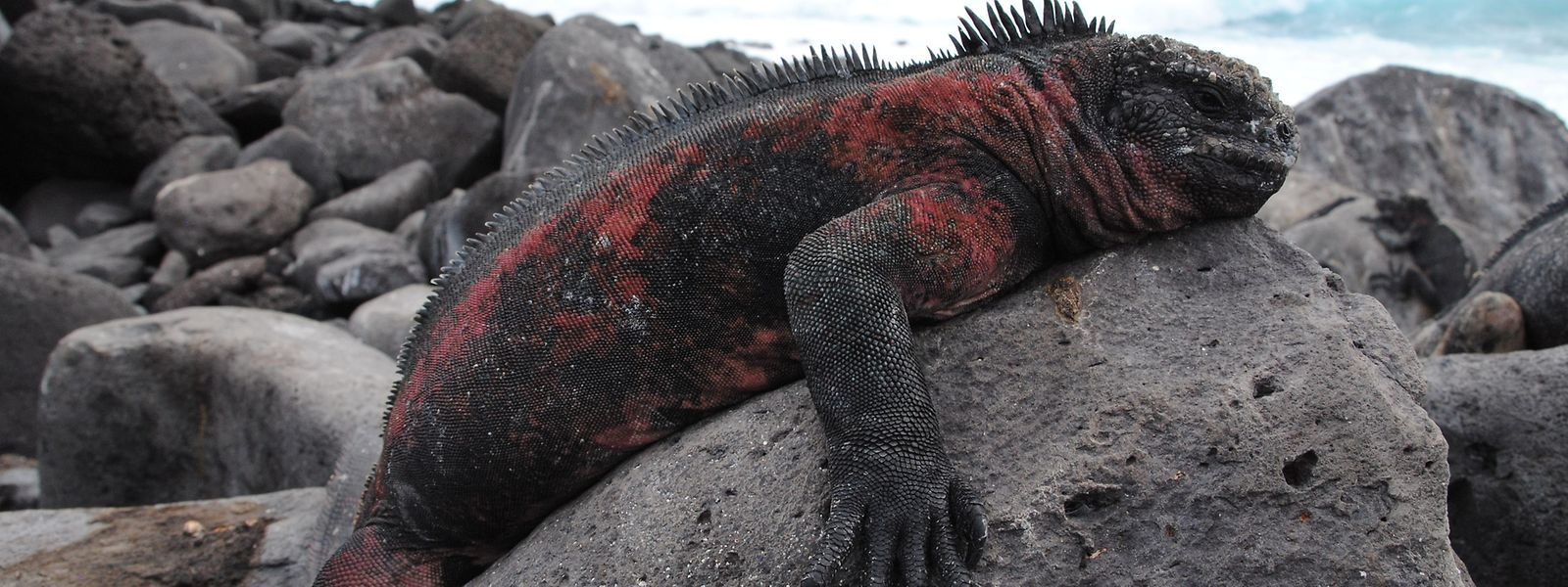Immer noch sind die Galápagos-Inseln ein Paradies für Tiere, so wie die rot-schwarzen Meerechsen.