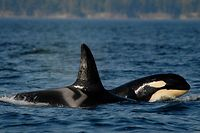 **FILE **In this Sept. 2, 2006 file photo, provided by the Center for Whale Research, a female orca, or killer whale, travels with her offspring in waters around the San Juan Islands in Washington State. Seven killer whales are missing in from nearby Puget Sound and presumed dead in what could be the biggest decline among the sound's orcas in nearly a decade, scientists at the research center who carefully track the endangered animals said Friday, Oct. 24, 2008. (AP Photo/Courtesy The Center for Whale Reseach) ** NO SALES **