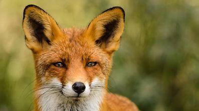 Der Fuchsbandwurm ikst ein Parasit, der nicht nur den Fuchs angreift.