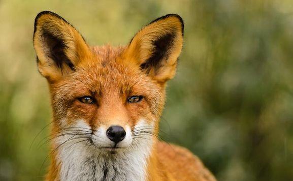 Hat ein weiteres Jahr Ruhe: der Fuchs