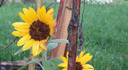 Sonnenblumen am Hierscht