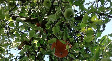 Kürbistragender Apfelbaum