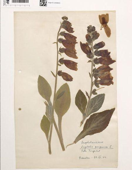 Blumen aus dem Herbarium des Naturhistorischen Museums beschriften.